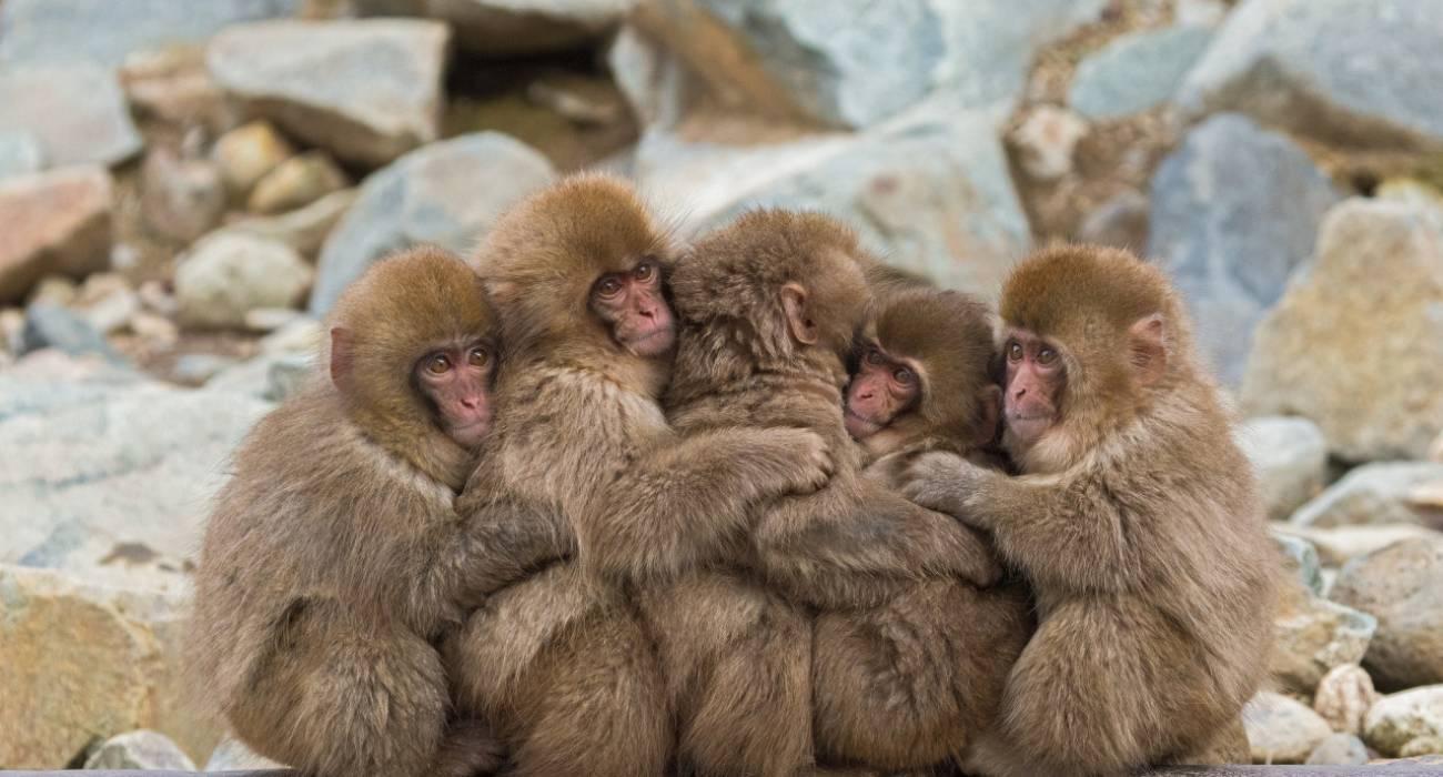 Những chú khỉ tinh nghịch tại công viên khỉ Jigoku Dani